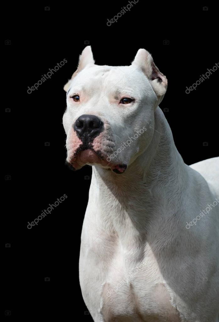 Portrait of  dogo argentino on black background