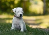 Die niedlichen Welpen Dogo Argentino sitzen im Rasen Sommer