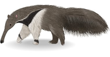Cute anteater isolated on white background