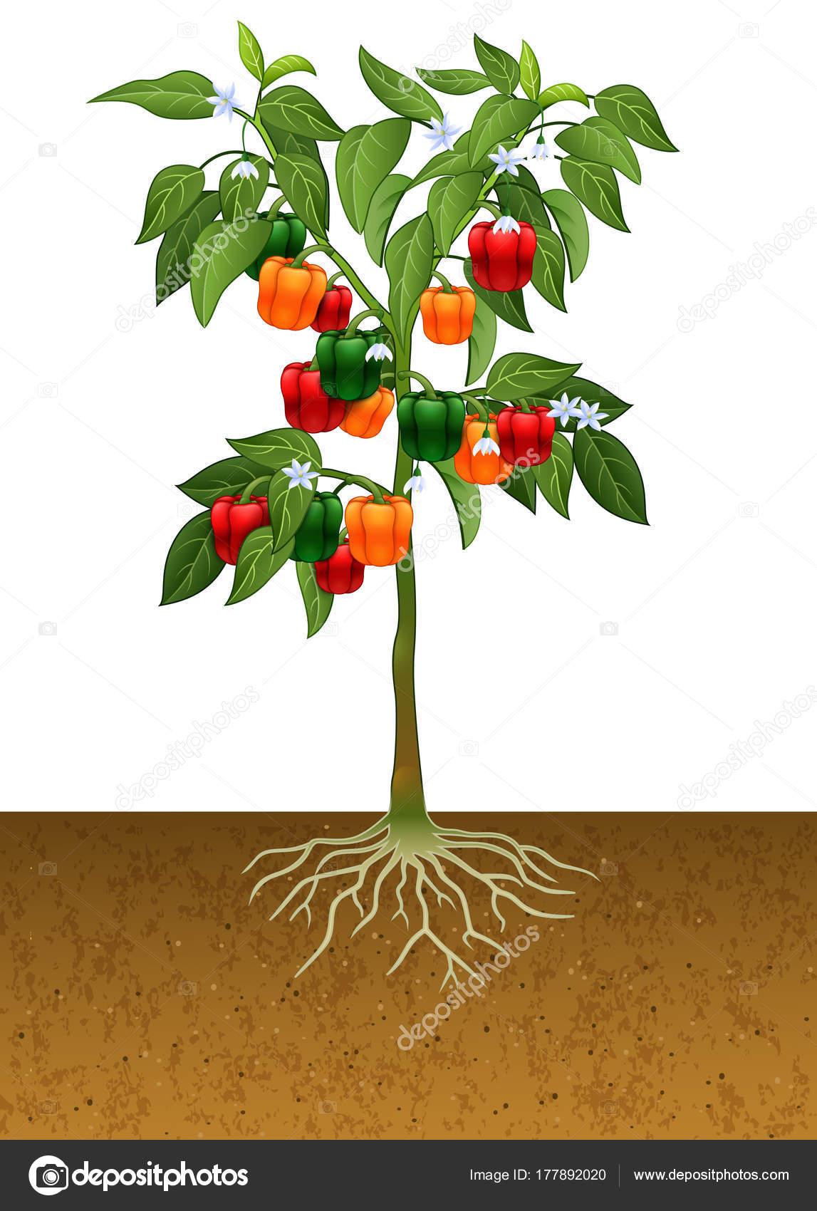 paprika plant met wortel grond stockvector. Black Bedroom Furniture Sets. Home Design Ideas
