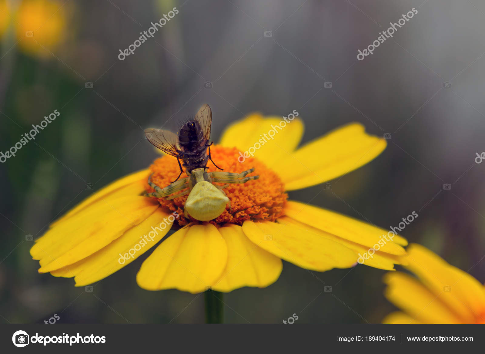 Flower Spider Had Caught A Fly Misumena Vatia Stock Photo