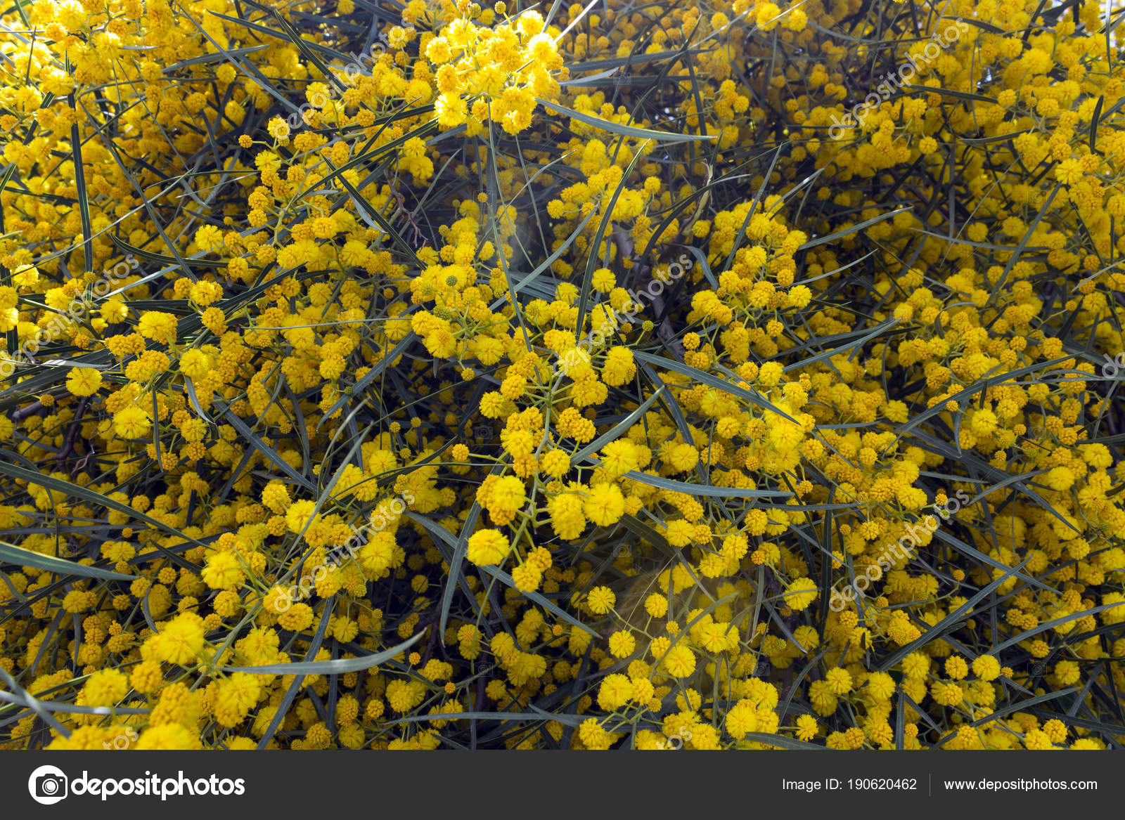 Yellow Mimosa Flowers On Tree Branches Spring Background Stock