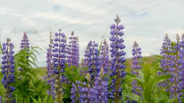 Květy fialové vlčí bob v polích