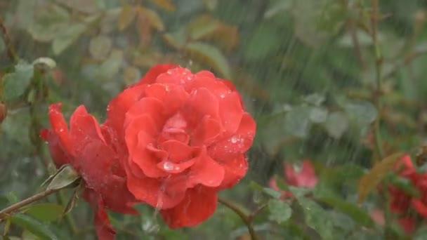 květy červené růže v dešťové kapky na zeleném pozadí