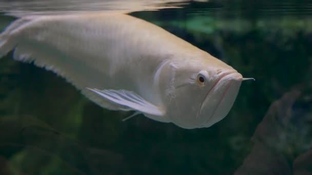 Közelkép. Egy nagy bézs hal szögletes állkapoccsal pózol a kamera előtt.