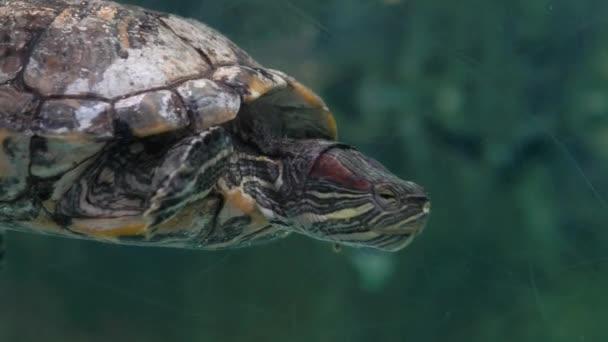 Közelről. Akvárium. Üvegszilánk. Egy teknős úszik a zöld tiszta vízben..