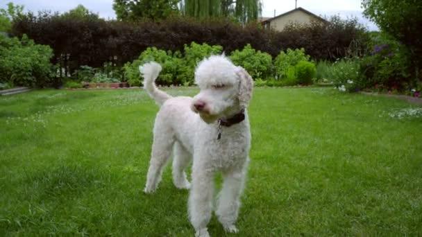 Pudl se třese na zeleném trávníku. Roztomilý zvířat pes třese. Bílá pet hraje