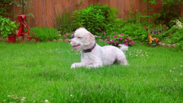 Pes, kterým se stanoví. Bílá Labradoodle leží na zelené trávě. Roztomilé zvíře na trávě
