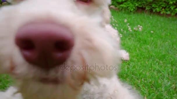 Hravý pes jíst trávu. Detailní záběr z bílého psa při pohledu na fotoaparát