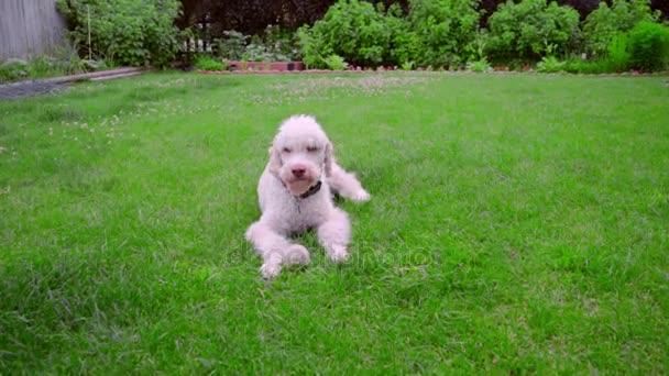 Hravý pes utíká míč. Bílé labradoodle běží trávou