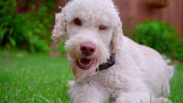 Bílý pes při pohledu na fotoaparát. Detail tváře psa na zelené trávě