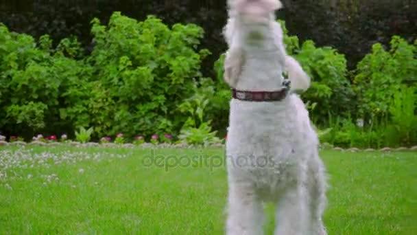 Bílá Labradoodle koktejl. Hodný pes třese. Roztomilé zvíře venku