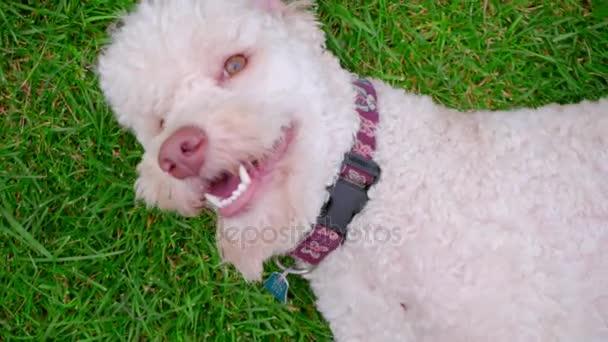 Pudl Bílý pes na zelené trávě. Zblízka tahu bílého psa na louce