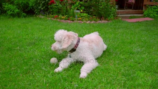 Müde, Hund ruht auf dem grünen Rasen nach dem Spiel mit Ball. Pudelhund liegend