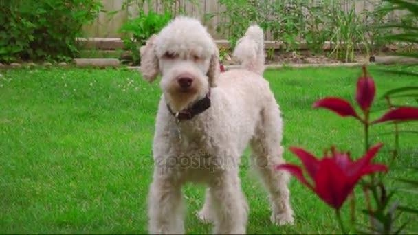 Portrét bílého psa. Labradoodle stojící na trávníku poblíž květiny. Pudl