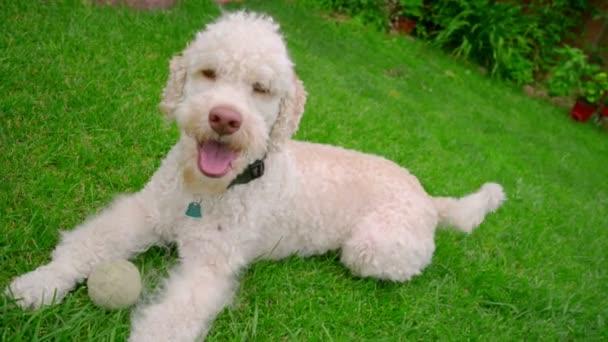 Glücklicher Hund liegend auf dem Rasen. Weiße Labradoodle ruht auf dem grünen Rasen