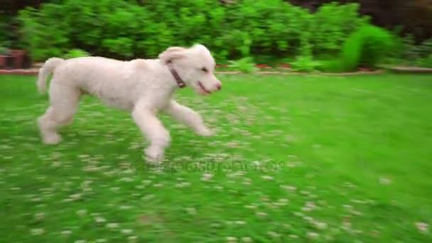 Funny pes běží trávou. Bílý pudl, na útěku. Šťastný pes skákání na trávě