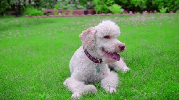 Klidný pes leží na zelené trávě. Portrét bílého psa. Bílá Labradoodle