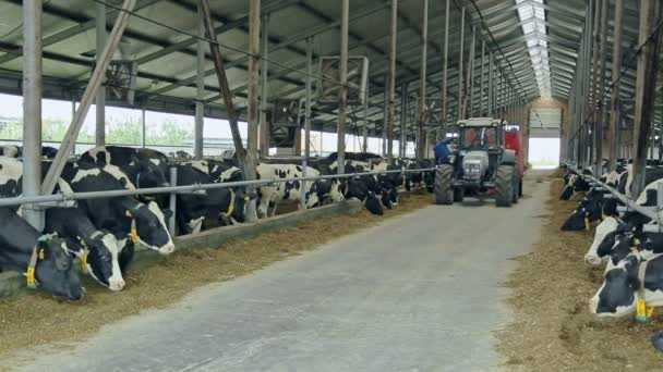 Cows In Modern Barn On Dairy Farm Livestock Farming Agriculture Industry Stock Video