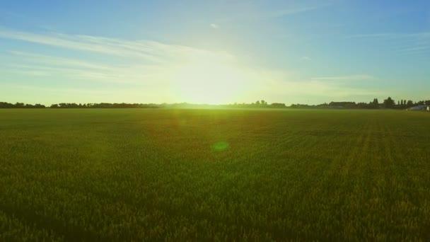 Wheat field landscape on background summer sun. Green meadow summer