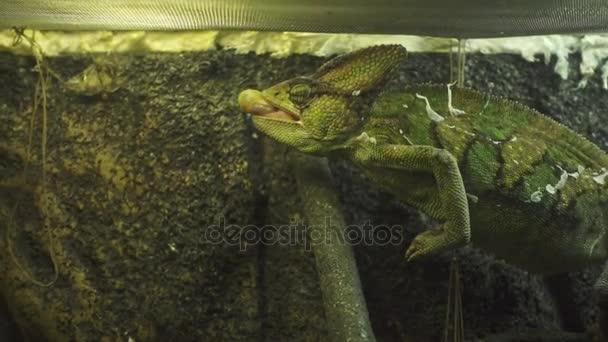 Chameleon In Glass Terrarium Slow Motion Chameleon Jumping To Catch