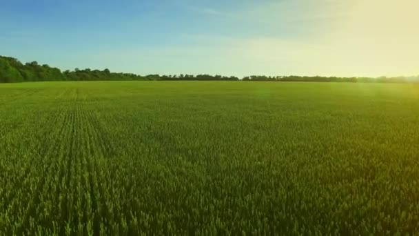 Krajina zelené pšenice pole na pozadí modré oblohy. Pole antény