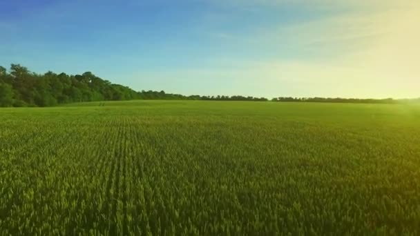 Zelený ječmen pole v letním dni. Zelená pole pšenice. Pole antény