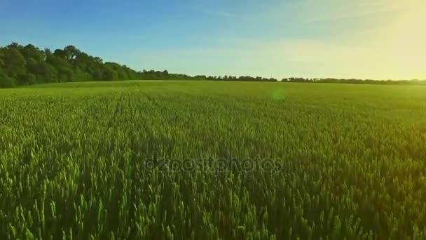 Šířku pole pšenice. Letní obilí ve slunečný den. Zelená louka
