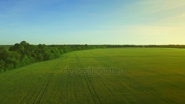 Šířku pole pšenice. Zemědělský pozemek ječmen na pozadí modré oblohy