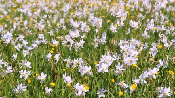 Field of flowering daffodils and buttercups. Beautiful floral landscape