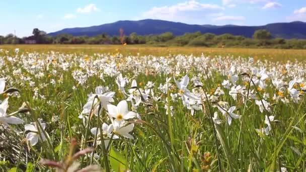 Narcisy pole v jarní den. Narcisy, rostoucí poblíž hory