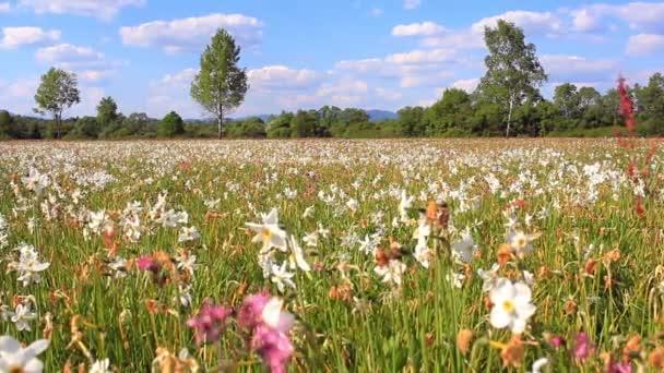 Field of flowering white daffodils. Beautiful flower landscape