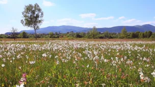 Krásný narcisy pole na horské louce. Květinové pole hory