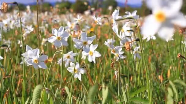 Narcissus květu v poli. Krásné velké květinové postel