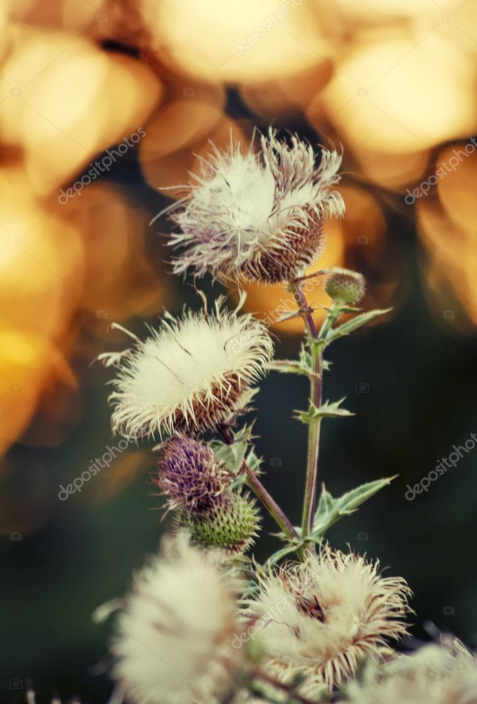Steppe Russian thistle plant Silybum marianum