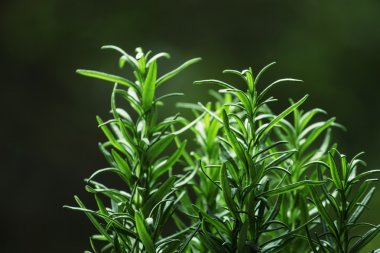 Fresh rosemary on blurred natural background