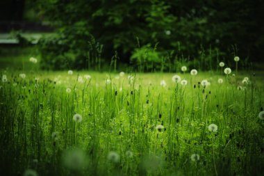 Beautiful forest glade with dandelions