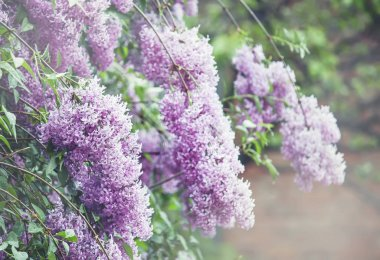 summer natural background with blooming lilac