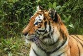 Amur tiger in a cage