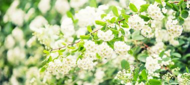 Blooming white bird-cherry, spring natural background, selective focus