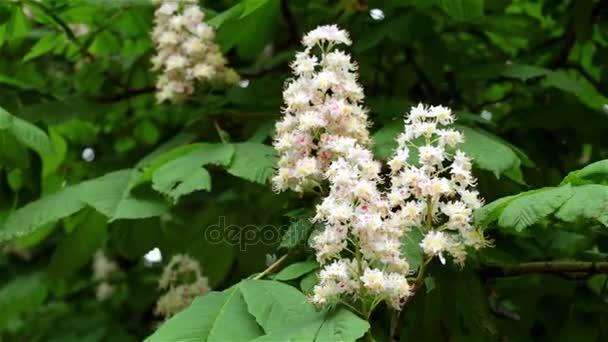 Kaštanový strom kvete. Kaštanové květiny