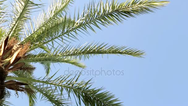 Leaves of palm trees against the blue sky. Green palm, tropical, summer.