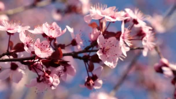 Spring, the tree blooms, beautiful pink flowers.