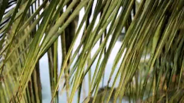 Pálmafalevelek és kókuszdió. Gyönyörű trópusi háttér, kókuszpálma közelkép