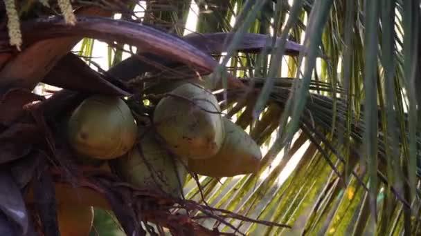 Nagy zöld kókuszdió nő a pálmafán. Naplemente, napsugarak és pálmalevelek