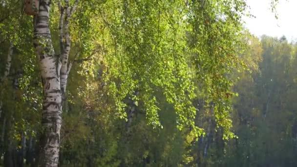 krásné břízy v podzimním lese