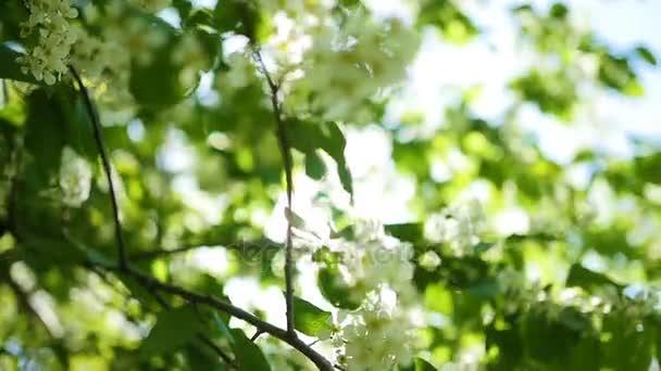 Kvetoucí třešeň přes paprsky slunce. jaro