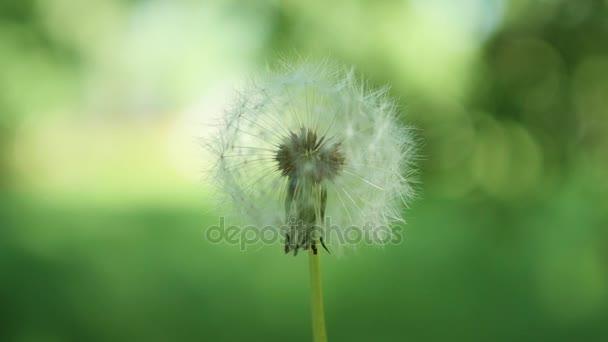 Pampelišky létat ve větru. Příroda, zelené pozadí