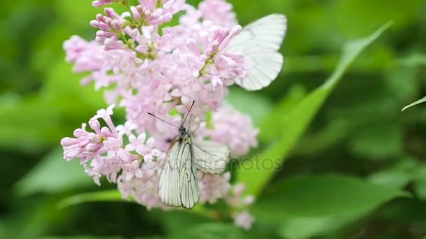 Fehér pillangó ül a virágzó lila. káposzta-pillangó