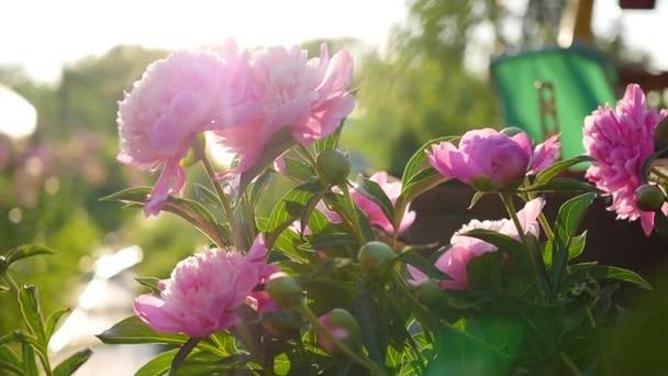 Schöne Garten Blume Pfingstrose Sommer Sonne Garten Natur